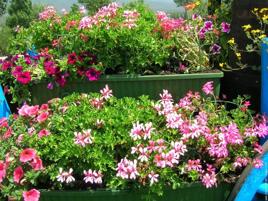 composiciones florales con geranios - Composiciones Florales