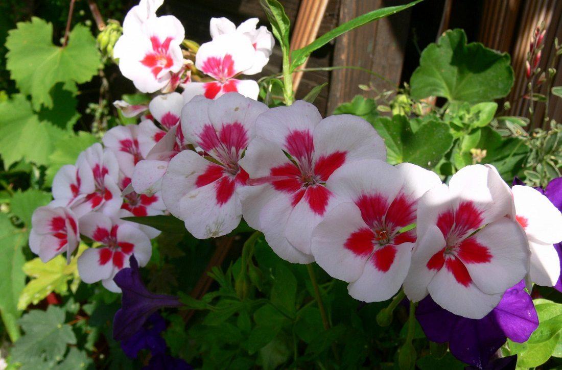 Cuidados de los geranios for Plantas ornamentales y sus cuidados